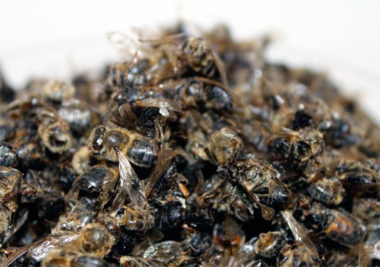 Правила приема пчелиного подмора от простатита