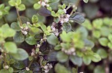 Как эффективно лечить мочекаменную болезнь травами?