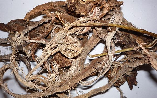 Применение красного корня для лечения простатита