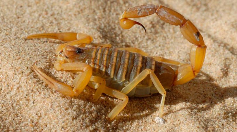 Палестинский желтый скорпион